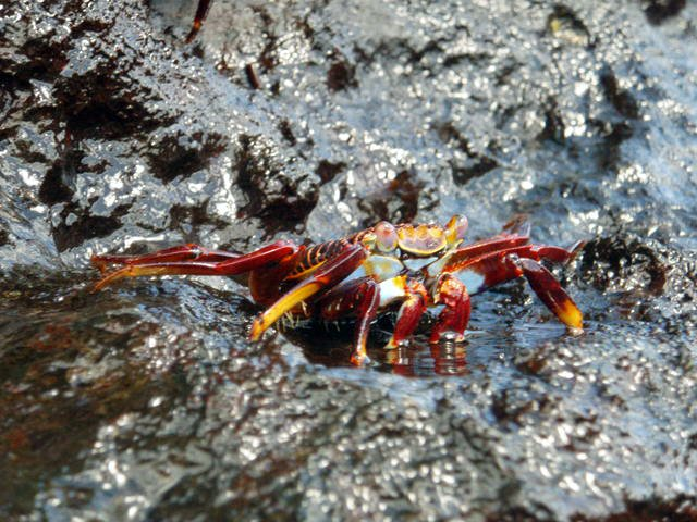 Galapagos Red Crab