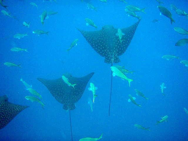 School of Spotted Eagle Ray's