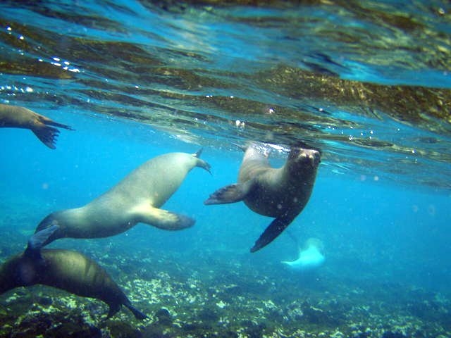 Sea Lion's at play