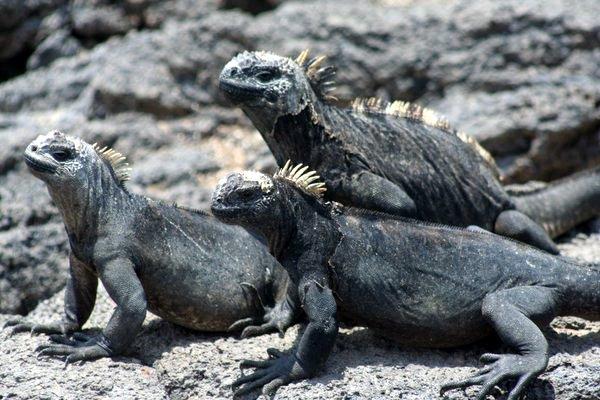 Gang of Marine Iguana's