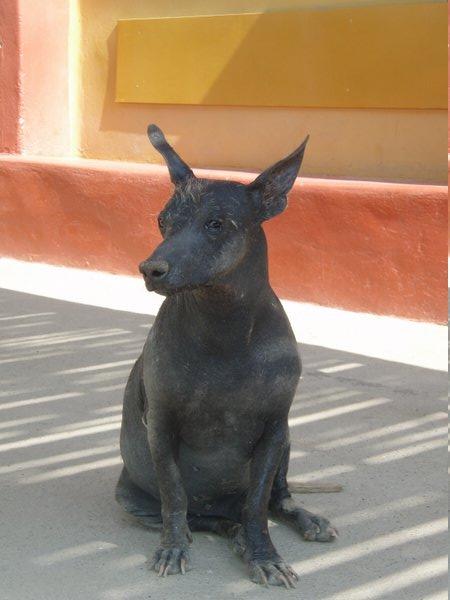 Inca Dog